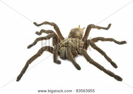 Brown Baboon Tarantula