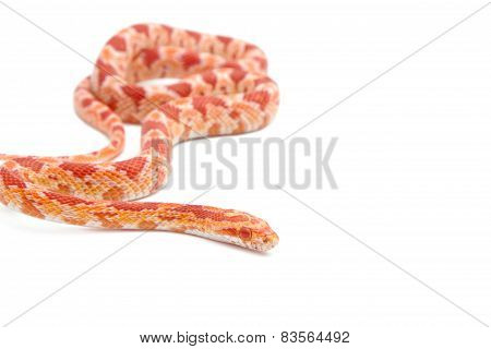 Albino Corn Snake On White Background