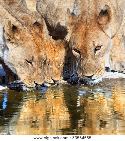 Three Lions drinking at a waterhole