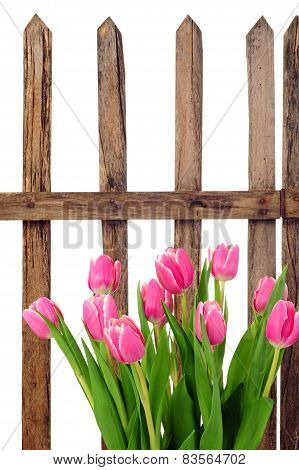 Garden Fence And Tulips