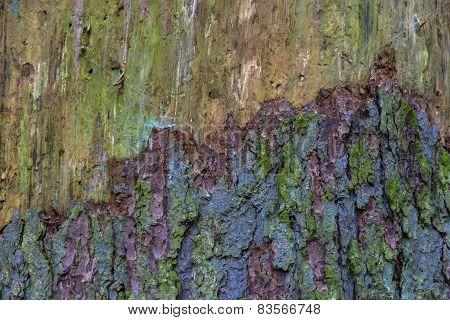 Multi-colored bark of the tree.
