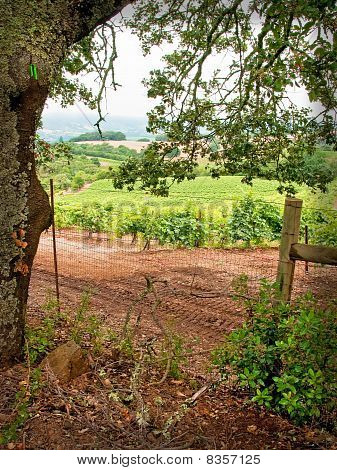 Vineyard Framed By Oak Tree