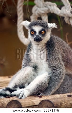 Sitting Ring-tailed Lemur (lemur Catta)