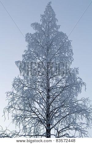 Birch In Hoarfrost