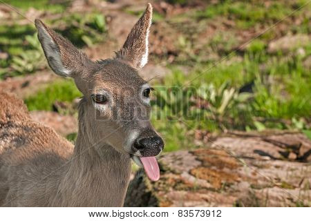 White-tailed Deer (odocoileus Virginianus) Sticks Out Tongue