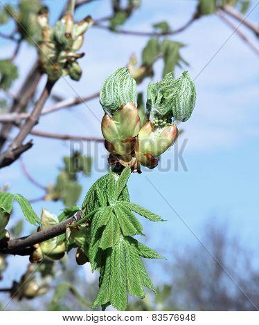 Horse Chestnut Flower Buds On A Branch
