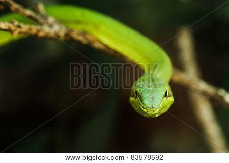 Green vine Snake / Flatbread snake (Oxybelis fulgidus) seen in Monteverde, Costa Rica.