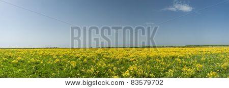 Yellow Rape Field And Blue Sky Panorama