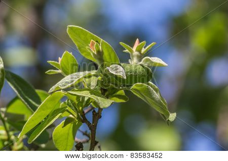 Branch Of Quince With Leaves And Buds