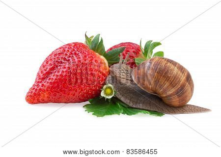 garden snail creeping on of a strawberry