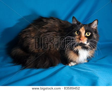 Tricolor Cat Sitting On Blue