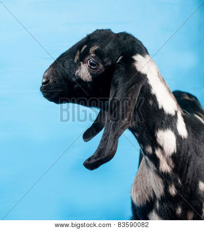 Black, White And Red Nubian Lamb On Blue