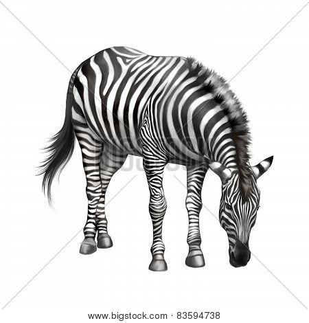 zebra bent down eating grass . isolated on white background