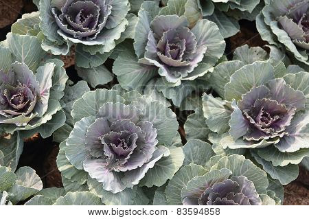 Purple Longlived Cabbag, Brassica Hybrid Cv. Pule