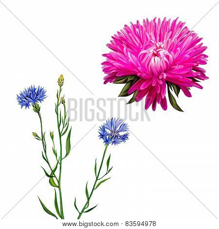 Aster. Pink flower, Spring flower. Knapweed flower on white background. illustration of blue little