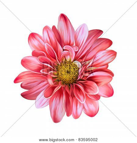 Mona Lisa flower, Red flower, Spring flower.Isolated on white background.