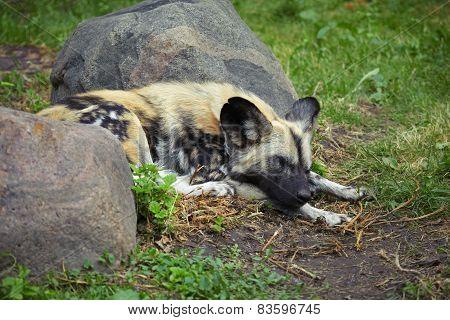 Sleeping hyena
