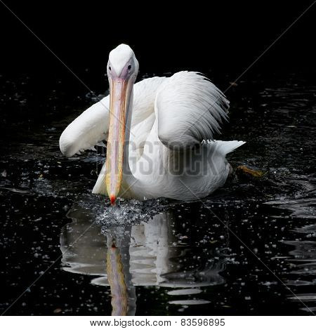 Pelican swimming in the water