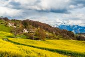 picture of rap  - Beautiful spring landscape with raps field - JPG