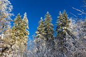 stock photo of zurich  - Winter forest on the Uetliberg mountain  - JPG