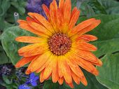 stock photo of gerbera daisy  - Brightly colored yellow to orange gerbera daisy found in the rainforest of Belize - JPG