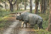 stock photo of indian  - The Indian rhinoceros  - JPG
