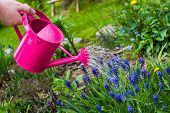 image of spray can  - Spring works in the garden: watering plants watering can ** Note: Shallow depth of field - JPG