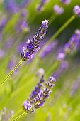 foto of lavender plant  - Green field of fresh lavender  - JPG