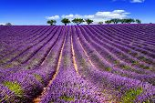 image of lavender field  - Lavender field in Provence near Sault France - JPG
