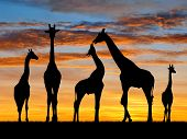 picture of herd  - herd of giraffes in the colorful sunset - JPG