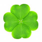 stock photo of clover  - Green clover leaf isolated on white background - JPG