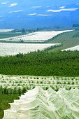 picture of sole  - Apple orchards with protective nets at farms in Val di Sole  - JPG