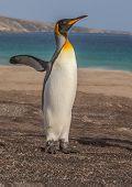 stock photo of flipper  - A King Penguin exercises its flipper on a Falklands Beach - JPG