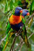 image of lorikeets  - couple of Rainbow Lorikeet in Australia nature - JPG