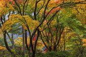 picture of canopy  - Japanese Maple Tree Canopy at Portland Japanese Garden in Autumn - JPG