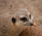 picture of meerkats  - head of curious meercat  - JPG