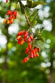 foto of barberry  - Ripe berries of barberry on the branch closeup - JPG