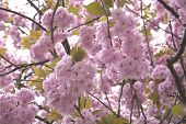 stock photo of cherry  - Cherry blossom closeup - JPG