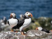 foto of faroe islands  - Puffins on the Farne Islands, Northumberland North England ** Note: Visible grain at 100%, best at smaller sizes - JPG