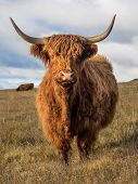 stock photo of highland-cattle  - Highland Cow in a field above Settle in the Yorkshire Dales - JPG