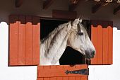 stock photo of white horse  - White horse in a stall looking outside Alentejo Portugal - JPG