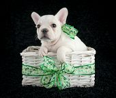 stock photo of shamrock  - Little French Bulldog puppy sitting in a basket with shamrock ribbon around it wearing a shamrock bow on a black background - JPG