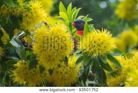 Rainbow Lorikeet peeking through yellow flowers