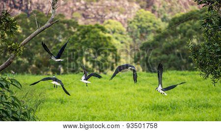 Straw necked Ibis in flight