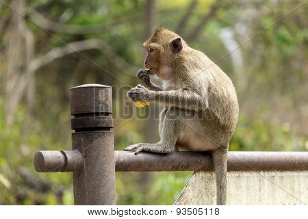 Monkey With Corncob