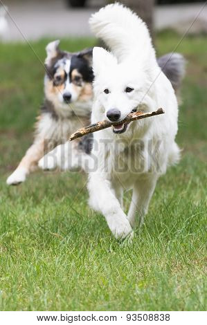 White Swiss Shepherd Dog Is Fetching