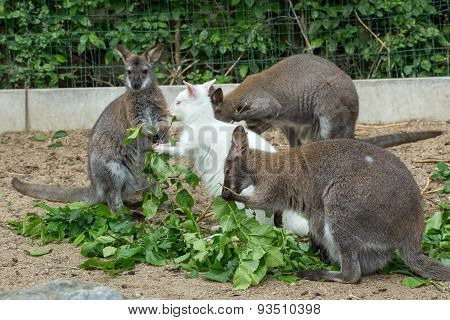 Grazzing Red-necked Wallaby (macropus Rufogriseus)