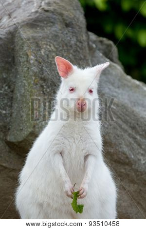 Closeup Of A Red-necked Wallaby White Albino Female