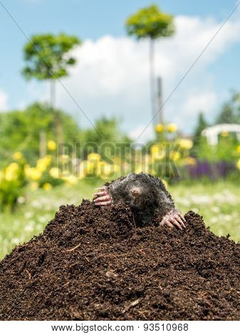 Mole poking out of mole mound