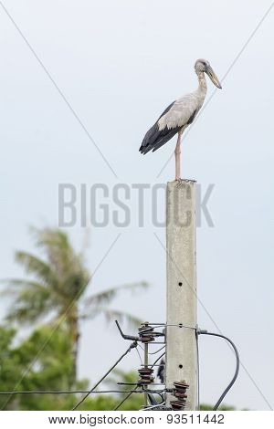 Heron or Bittern is prominent on the electricity post.